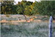 3 baby deer in a field with trees