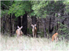 A buck, a doe, and a faun in a field near the tree line